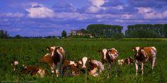 Gemoedelijk lagen de koeien in een groep bij elkaar tussen het hoge gras op de uiterwaarden vlak bij het Veerhuis in Wamel. Toen ik dichterbij kwam waren ze toch nieuwsgierig. Dit was een van de weinige keren dat ik niet zo oplette met koeien; ze hadden mij in no-time omsingeld en ik moest ongeveer een half weiland door, stap voor stap achteruit met mijn hoofd naar ze toegericht om niet in de rug gelopen te worden door ze. Voor hen is het nieuwsgierigheid en een spelletje, maar een duw van…