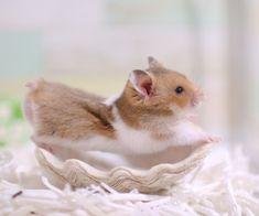 よくのびてます あとあくびする前が分かりやすいです #ハムスターkotetsu Baby Animals Pictures, Like Animals, Zoo Animals, Animals And Pets, Funny Animals, Hamster Life, Hamster House, Funny Hamsters, What Is Cute