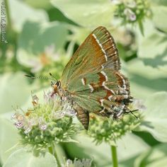 Juniper hairstreak on short toothed mountain mint #butterflies