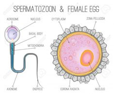 28 Best Egg Cell Human Ovum Images Egg Egg As Food Ova