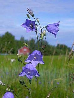 Kissankello, Campanula rotundifolia - Kukkakasvit - LuontoPortti Blue Flowers, Beautiful Flowers, Verge, Forest Flowers, Flower Names, Purple Garden, Flowers Perennials, Blossom Flower, Garden Planning
