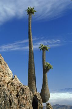 Halfmen Trees Pachypodium namaquanum in the Richtersveld National Park, Northern Cape, South Africa.