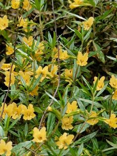 Mimulus aurantiacus | Sticky Monkey Flower