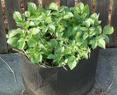 Disease And Pests | A Garden Season Guide To Growing Potatoes In Containers