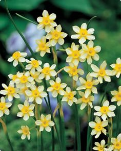Narcissus Jonquilla - scented for the wedding flowers.