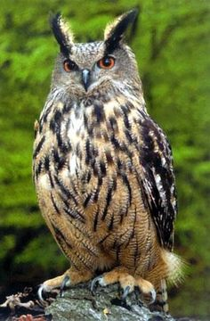 Several pairs of eagle owls, the largest owls in the world, are now breeding in the wild in Britain, according to a new study.