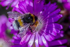 bumblebees back by sunclick_163 #nature #photooftheday #amazing #picoftheday