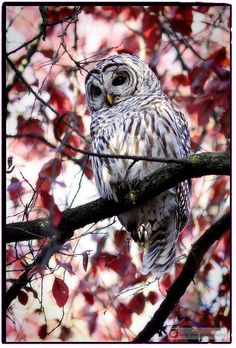 Barred Owl ~ sitting pretty