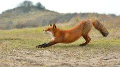 Yoga Fox by Foto Foosa on 500px