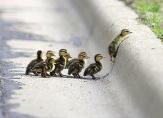 Cute Ducklings!!