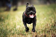 Straffordshire Bull Terrier
