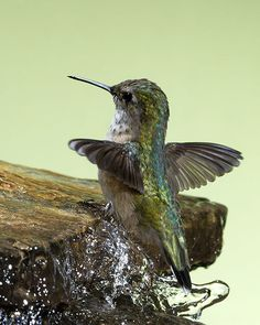 Awesome gallery of hummingbirds photos taken by Roy Hancliff - Inflight Bird Photographer Pretty Birds, Love Birds, Beautiful Birds, Animals Beautiful, Tiny Bird, Small Birds, Little Birds, Animals And Pets, Baby Animals