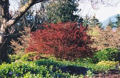 "Rose Glow Japanese Barberry    Berberis thunbergii ""Rose Glow""  Height: 5 feet    Spread: 6 feet    Sunlight:  full sun  partial shade     Hardiness Zone: 3    Description:    A spectacular selection with pink and purple variegated foliage, definitely a knockout for color contrast in the landscape; makes a great accent, solitary or impenetrable hedge; very popular and worthy of its renown"