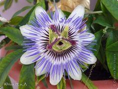 Пассифлора, Passiflora incarnata, passionflower, mučenka - Мастер-классы по украшению тортов Cake Decorating Tutorials (How To's) Tortas Paso a Paso