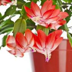 There are several plant species that are called Christmas cacti, but the true Christmas cactus is the plant discussed below, Schlumbergera x buckleyi, a hybrid of some very similar holiday cacti, a...