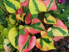 Houttuynia is a fast spreading groundcover for sun or shade