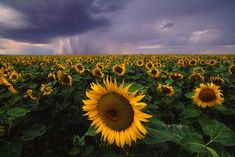 size: Photographic Print: A Field of Sunflowers under a Dark and Stormy Cloud-Filled Sky by Michael Melford : National Geographic Images, National Geographic Travel, Nature Photography, Travel Photography, Mysterious Places, Sunflower Fields, Explorer, Nature Photos, Framed Artwork