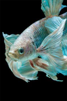 Pretty Fish, Beautiful Fish, Animals Beautiful, Cute Animals, Beautiful Pictures, Fish Fin, Beta Fish, Colorful Fish, Tropical Fish