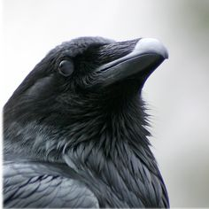 How to Tell a Crow From a Raven