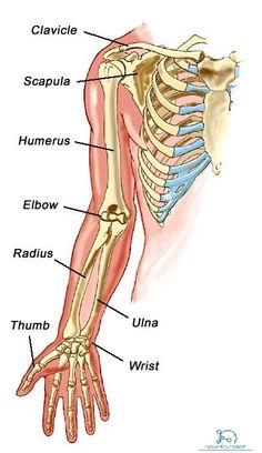 anatomy of upper limb ~ anatomy upper limb . muscles of upper limb anatomy . anatomy of upper limb Hand Bone Anatomy, Arm Anatomy, Anatomy Bones, Muscle Anatomy, Human Skeleton Anatomy, Human Body Anatomy, Human Anatomy And Physiology, Upper Limb Anatomy, Arm Bones