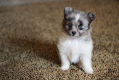 Meet Samson, an Australian Shepherd-Pomeranian mix. I just can't handle it.
