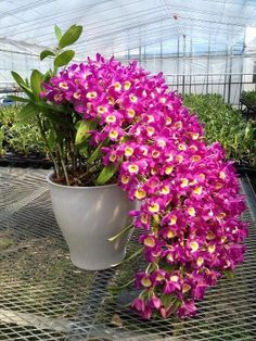 lovely Orchidee