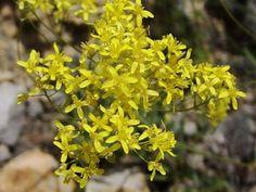 Biscutella didyma - Puglia estinta