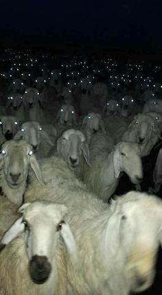 Running Into a Herd Of Sheep At Night Could Be Quite Terrifying - World's largest collection of cat memes and other animals Farm Animals, Animals And Pets, Funny Animals, Cute Animals, Creepy Animals, Wild Animals, Animal Pictures, Funny Pictures, Satanic Rituals