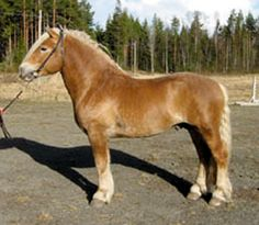 North Swedish Horse stallion Odin