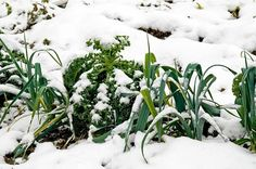 Cold Hardy Vegetable Garden | Things You Should Be Doing This Fall And Winter Garden Season