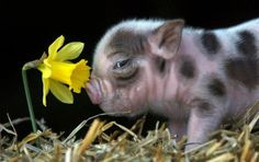 ...because one of her favorite flowers is the daffodil...and because she would love this pig ♥♥♥