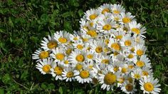 Heart of daisies -sweet to mark wedding spot Beautiful Inside And Out, Beautiful Flowers, Daisy Patches, Driving Miss Daisy, Daisy Love, Wedding Spot, Wedding Ideas, I Love Heart, Funeral Flowers