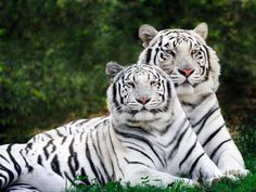 Stunning! Encantador! Merveilleux! Prächtig! Spettacolare 壮大な शानदार جميل A couple of White Bengal Tigers By unknown pic.twitter.com/HsWZhlt8dr