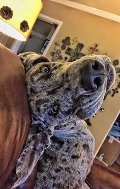 This Great Dane has the most precious face! www.bullymake.com
