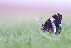 CGS_4309.jpg - Butterfly in the grass
