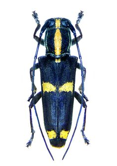 Glenea papuensis