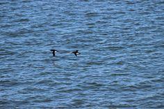 Des petits pingouins (Alca torda) que j'ai pu photographier depuis le traversier à la hauteur de l'Île aux Lièvres. 27 juin 2015