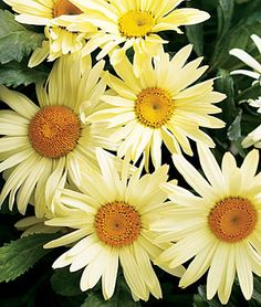 Shasta Daisy Broadway Lights lifecycle: Perennial Zone: i have em in my front yard Sun: Full Sun, Part Sun Height: inches Spread: inches Uses: Beds, Borders, Cut Flowers Bloom Season: Spring, Summer Shasta Daisies, Daisy Love, Black Eyed Susan, Flowers Perennials, Flowers Nature, Mellow Yellow, Petunias, Flower Beds, Garden Beds