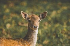 #obora #srnky #podzim #nikon #tamron #autumn #deer #vratimov #d7200 #tamron150600 #animals