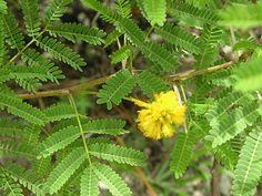 Florida native plants   Petrea volubilis in Mary Collins yard
