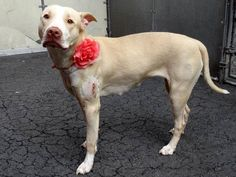 TO BE DESTROYED - 05/25/13 Manhattan Center LYKA A0965967 Female tan pit bull mix 2 YRS Some dogs need more time to transition and Lyka is doing just that... Lyka needs a home to call her home & a master/family to belong to & love. PLS share her now she only has tonight! Please click on pic for additional info on this dog