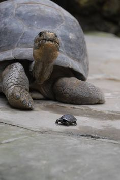 """""""Tortoise ~ With One of Her 'Mini-Me's!"""""""