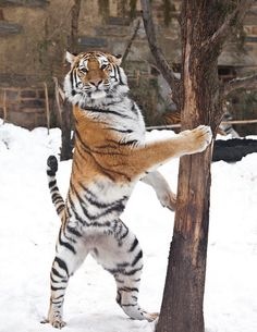 Tiger - See this tree? Majestic Animals, Rare Animals, Animals And Pets, Funny Animals, Wild Animals, Big Cats, Cool Cats, Cats And Kittens, Beautiful Cats