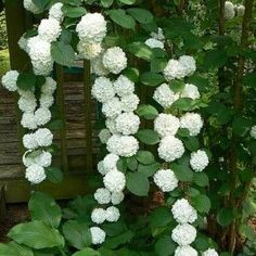 White Hydrangea Best Climbing Plant For Shade , The Best Climbing Plant For Shade In Landscaping And Outdoor Building Category