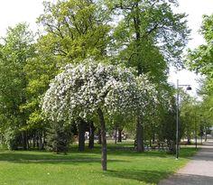 Rautatieomenapuu - *Malus ´Hyvingiensis´
