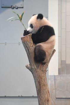 今日のパンダ(2059日目)   毎日パンダ