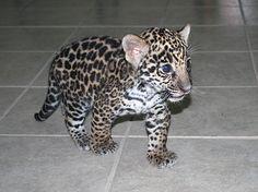 Baby JAGUARS   Baby Jaguar by Karma021 on deviantART