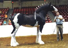 Clydesdale Show Halter Big Horses, Black Horses, Horse Love, Show Horses, Draft Horse Breeds, Draft Horses, Andalusian Horse, Friesian Horse, Arabian Horses