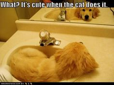 """What? It's cute when the cat does it!"" ~ Dog Shaming shame - Golden Retriever - Too cute!"