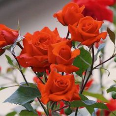 Rosas laranja